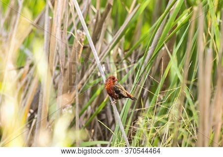 Red Avadavat,red Munia Or Strawberry (amandava Amandava) Finch Perching On Grass Red Avadavat