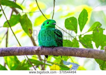Bird Color (green Broadbill) Bird In Vivid Green Color In Forest