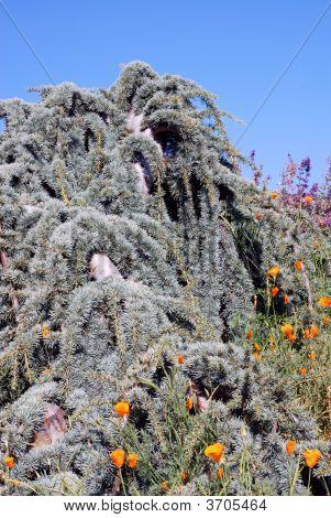 Contorted Evergreen Tree, Poppies And Sage