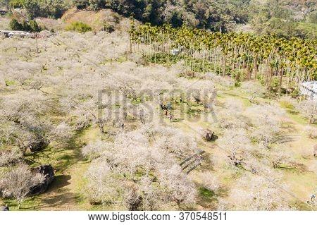 Nantou, Taiwan - Jan 6th, 2020: landscape of white plum blossom in the winter daytime at Nantou, Taiwan