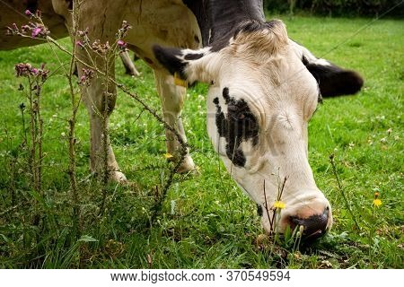 Close Up Portrait Of One Single White And Black Holstein Friesian Cow Grazing On A Fresh Green Meado