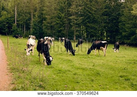 Holstein Friesian Cows Grazing On A Fresh Green Pasture; Line Of Pine Trees In The Background