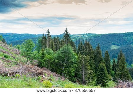 Huge Deforestated Areas With Young Beech Trees In Transylvania, The Carpathian Mountains, Romania.