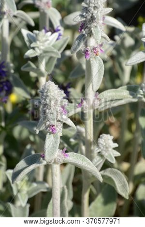 Stachys Byzantina Also Called Woolly Hedgenettle Abstract Flowers