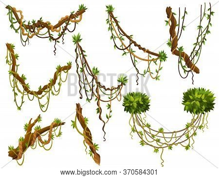 Set Of Twisted Wild Lianas Branches. Jungle Vine Plants. Woody Natural Tropical Rainforest