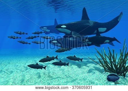 Orca Family 3d Illustration - An Orca Whale Group Of Three Males And One Female Hunt A School Of Atl