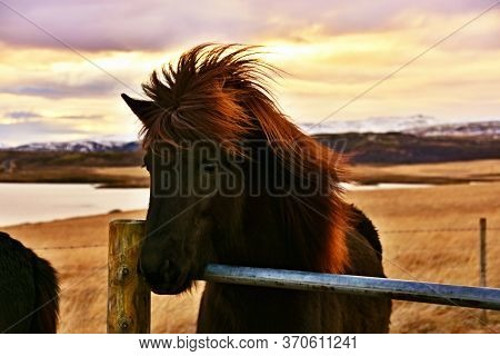 Go Explore Authentic Iceland In Wintertime. Meet The Icelandic Horse Developed In Iceland, Europe.