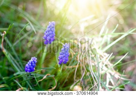 The Flower Is Called Muscari. Bulbous Plant In The Sun. Focus On Individual Inflorescences. Beautifu