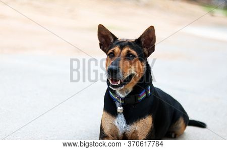 Rottweiler Breed Mixed With Labrador Breed Dog Laying Down On Cement Or Concrete Floor With Orange W