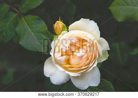Top View Of A Gentle Beautiful Rose In The Garden. Close-up Of A Peach-colored Rose. Soft Focus.