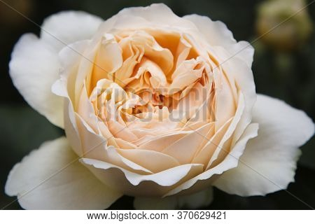 Close-up Of A Tea Rose. Top View Of A Beautiful Garden Flower. Beauty Concept In Nature.