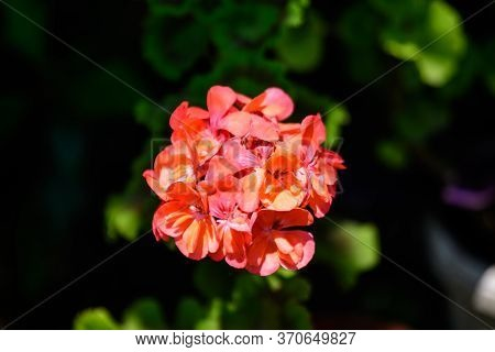 Group Of Vivid Red Pelargonium Flowers (commonly Known As Geraniums, Pelargoniums Or Storksbills) An