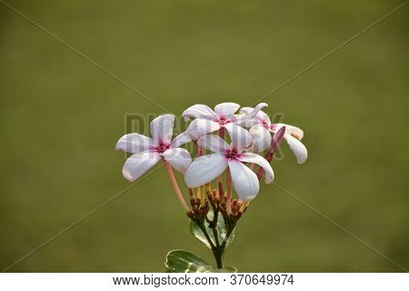 Closeup Picture Of Kopsia Flower Or Kopsia Fruticosa, Is A Genus Of Plant In Family Apocynaceae Firs