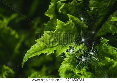 Fluff And Seeds Of Dandelion On Green Leaf Of Hogweed. Background Of Nature Closeup