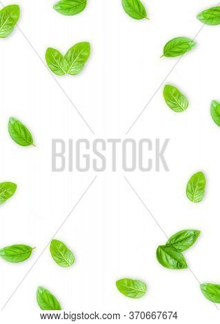 Fresh Green Basil Leaves Isolated On White Background, Top View. Basilic Isolated