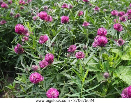 Trifolium Pratense. Thickets Of A Blossoming Clover. Red Clover Plants In Sunshine. Honey Bee At Red