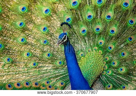 Extreme Close Up Indian Peafowl Or Male Peacock Dancing With Full Colorful Wingspan To Attracts Fema