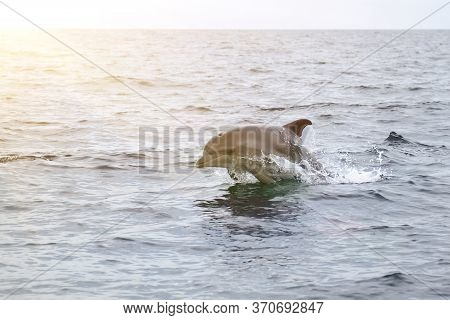 Bottlenose Dolphin In Its Natural Habitat. Representative Of Whale Floating In Sea