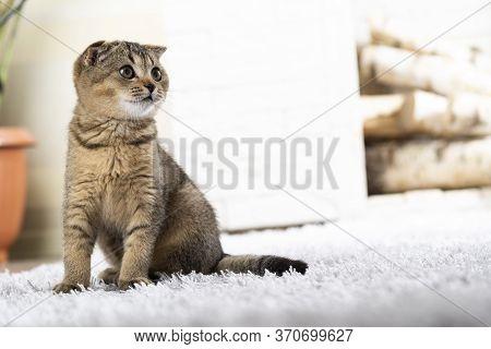British Little Kitten On Carpet Against Fireplace