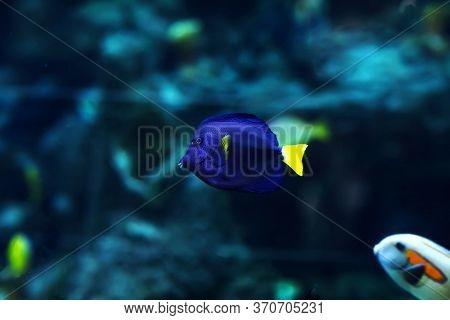 Yellowtail Damselfish, Chrysiptera Parasema . Popular Saltwater Aquarium Fish