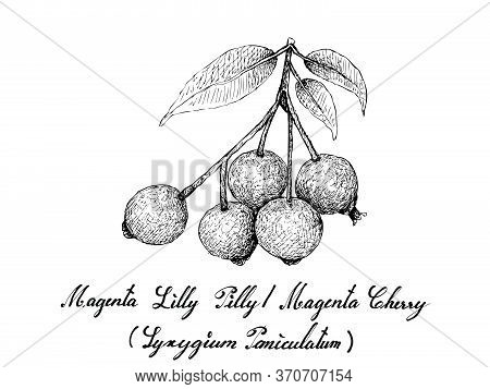 Berry Fruit, Illustration Hand Drawn Sketch Of Magenta Lilly Pilly,  Magenta Cherry Or Syzygium Pani