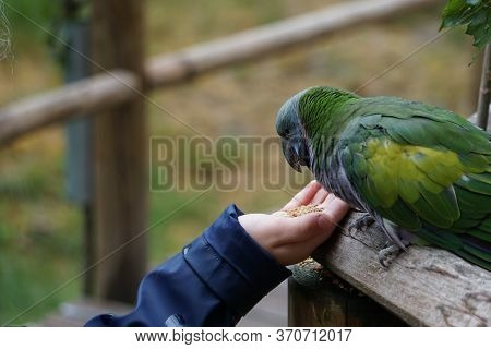 Lord Derby Parakeet Picking Food Out A Of A Hand