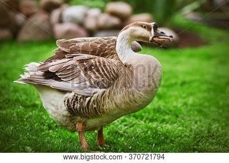 A Funny Domestic Goose With Brown Plumage And Orange Legs Hisses Viciously, Standing On A Green Lawn