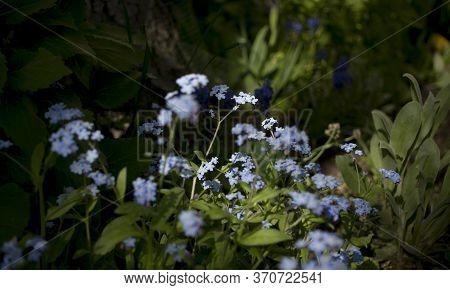Blooming Myosotis Sylvatica. Blooming Myosotis Against The Background Of The Same Flowers, Close-up,
