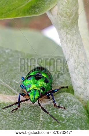 Jewel Bug On The Leaf. They Are Commonly Known As Jewel Bugs Or Metallic Bugs Due To Their Often Bri