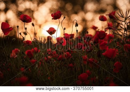 Beautiful Field Of Red Poppies In The Sunset Light. Close Up Of Red Poppy Flowers In A Field. Red Fl