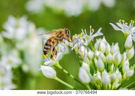 Honey Bee Apis Mellifera On White Flower While Collecting Pollen On Green Blurred Background