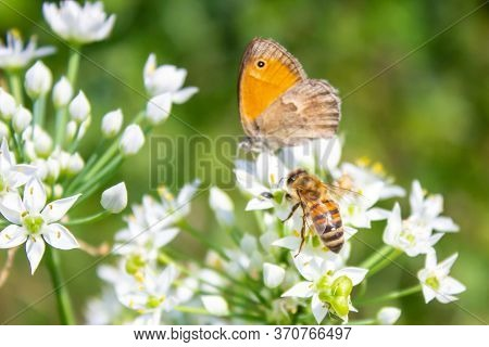 Honey Bee Apis Mellifera Pollinating White Flower On The Background Of A Butterfly Coenonympha Pamph