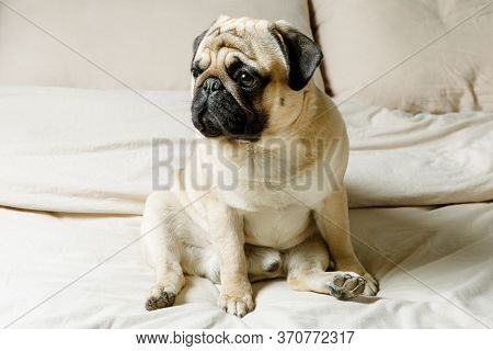 A Cute Beige Pug Dog Is Sitting On A Bed With Light Bedding. Beautiful, Purebred Pug. The Concept Of