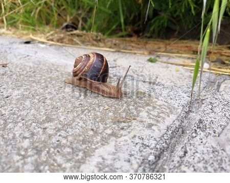 Snail Crawling Along A Path Next To Wet Grass. Close Up Of The Snail Taken From Side View. Snail Has