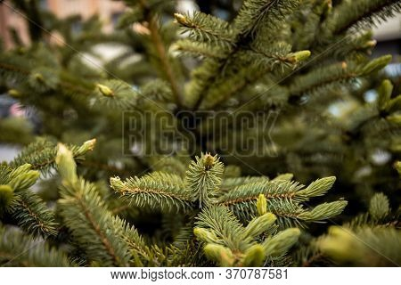 Spruce Branch. Beautiful Branch Of Spruce With Needles. Christmas Tree In Nature. Green Spruce. Spru