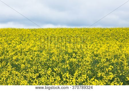 Rapeseed Flowering. Yellow Rapeseed Field On Farm. Agroindustry