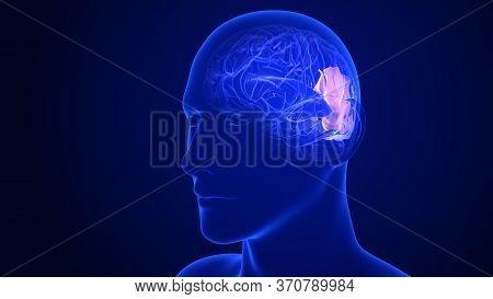 Brain Anatomy - Parietal Lobes. 3d Rendering