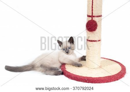 A Funny Little Thai Kitten Plays With A Ball Tied To A Claw In The Form Of A Column.