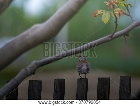 Blackbird In Spring Time Sitting On The Fence.