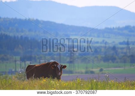 One Cow Grazing In Green Meadow In Green Meadow