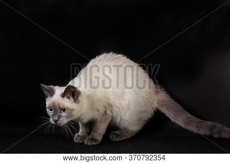 Thai Cat On A Black Background In A Pose Before Jumping