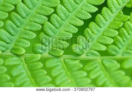 Young Fern In The Spring Summer Day. Green Fern In The Forest. Green Leaf Of A Fern On A Green Backg