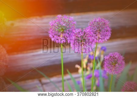 Blooming Giant Onion. Hugane Onion Flower Batun. Onion Flower In The Spring Afternoon.