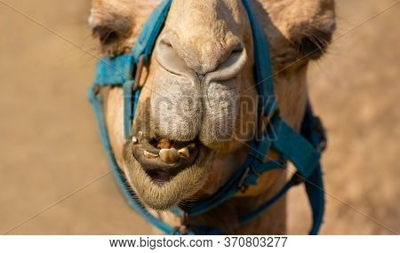 A Funny Looking Camel Is With A Silly Look On His Face