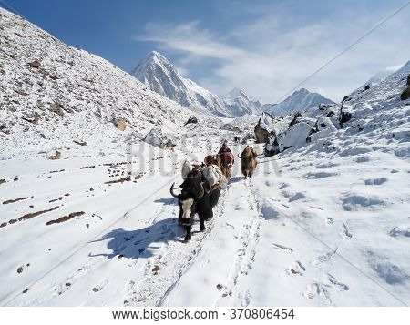 Yaks In A Snowy Landscape In Himalayan Mountains