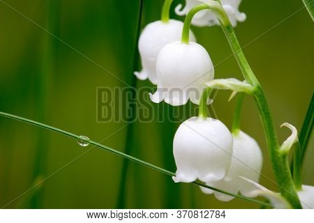 Lilies Of The Valley In Early Spring. Glade Of Lilies Of The Valley In The Forest. White Lilies Of T