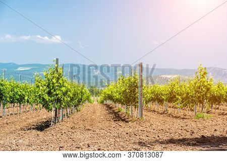 Rows Of Young Vineyard On A Sunny Spring Day. Young Plantation Of A Well-groomed Vineyard At The Beg