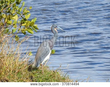 Tricolored Heron On A Lake In Florida