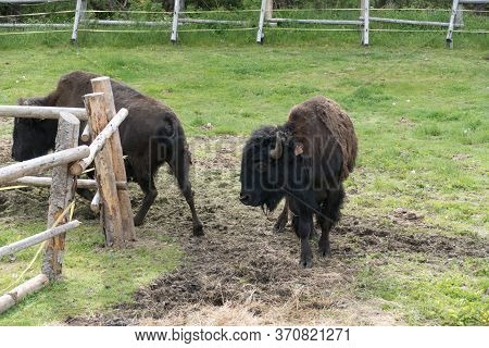 Bison Couple In The Fenced Reservation In Zoo