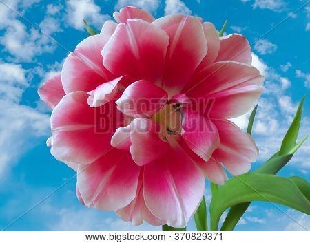Fresh Pink Fluffy Tulip Closeup Against Blue Sky